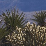 Cactus and Yucca in the desert