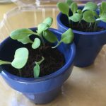 Forget-Me-Not Seedlings