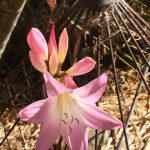 Belladonna Lily (Naked Lady)