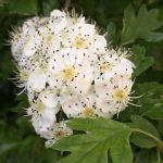 Hawthorne Blooms??