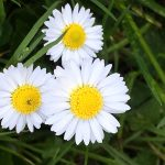 English Daisies in Donegal