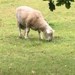 Image of sheep grazing